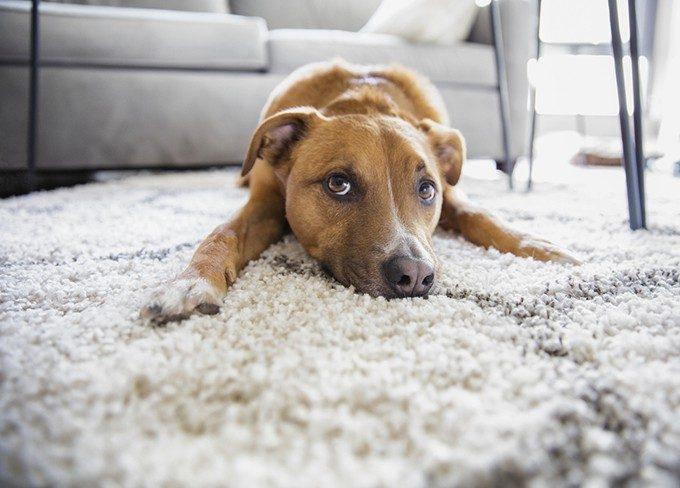 ラグの上に寝転ぶ犬